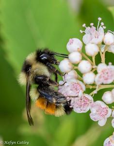 HYMENOPTERA: Apidae: Bombus ternarius,  orange-belted bumblebee.