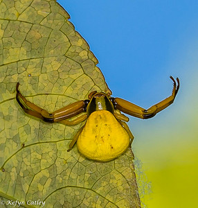 ARANEAE: Thomisidae: Misumena vatia, goldenrod crab spider