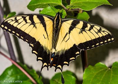 LEPIDOPTERA: Papilionidae:  Papilio glaucus, eastern tiger swallowtail