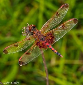 ODONATA: Libellulidae: Celithemis elisa, calico pennant male