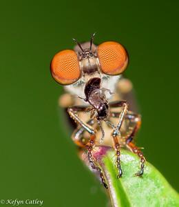 DIPTERA: Asilidae: Holcocephala fusca , gnat-ogre eating rove beetle