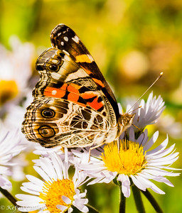 LEPIDOPTERA: Nymphalidae: Vannessa virginiensis, American lady