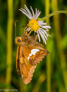 LEPIDOPTERA: Hesperiidae:  Epargyreus clarus, silverspotted skipper