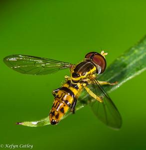 DIPTERA: Syrphidae: hoverflies, Toxomerus germinatus
