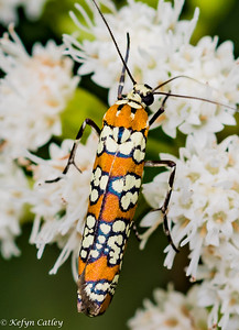 LEPIDOPTERA: Attevidae:  Atteva aurea, harlequin moth, Ailanthus webworm