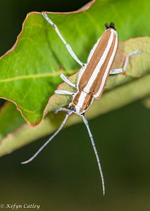 COLEOPTERA: Cerambycidae: Saperda candida, round headed apple tree borer