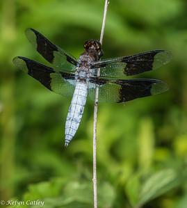 ODONATA: Libellulidae: Plathemis lydia, common whitetail male