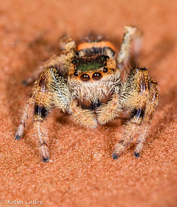 ARANEAE: Salticidae: Paraphidippus aurantius, emerald jumper
