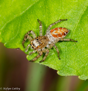 Araneae: Salticidae: Maevia inclemens, dimorphic jumping spider