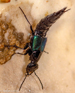 COLEOPTERA: Staphylinidae: rove beetles