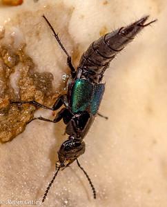 COLEOPTERA: Staphylinidae: rove beetles