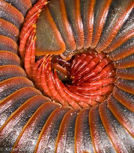 MYRIAPODA: DIPLOPODA: SPIROBOLIDAE: Narceus americanus, American giant millipede