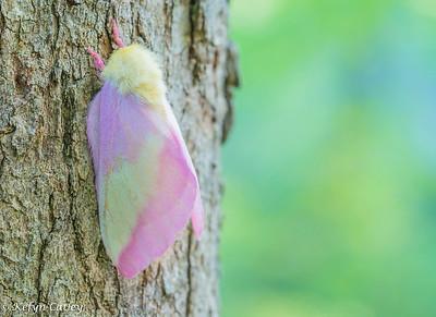 LEPIDOPTERA: Saturniidae: Dryocampa rubicunda, rosy maple moth
