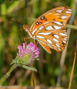 LEPIDOPTERA: Nymphalidae: Agraulis vanillae, gulf fritillary