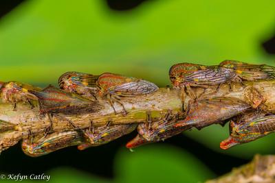HEMIPTERA: Membracidae:  Platycotis vittata, oak treehoppers