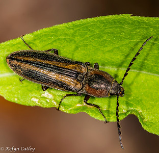 COLEOPTERA: Elateridae, click beetle  unidentified species