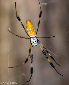 ARANEAE: Nephilidae: Nephila clavipes, golden orb weaver