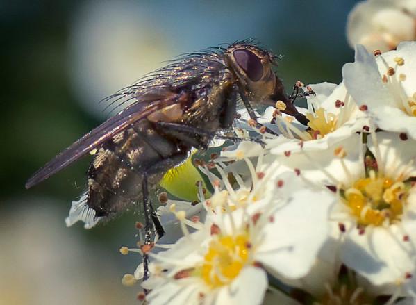 Nærbilde av insekt som jeg ikke vet navnet på. Tasta, Stavanger, Rogaland.