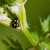 20080525as19-23-01-24 Propylea quatuordecimpunctata, sjakkbrettmarihøne