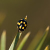 20.05.2007 22-05-03 Propylea quatuordecimpunctata, sjakkbrettmarihøne