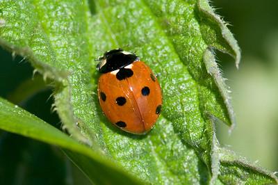 20080525as18-08-28 coccinella septempunctata, syvprikket marihøne