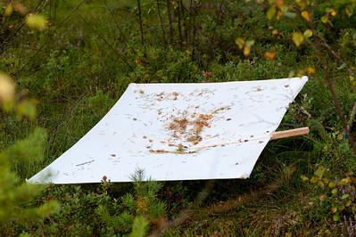 20090823as20-07-25 coccinella septempunctata, syvprikket marihøne