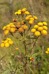 20090818as10-06-28 coccinella septempunctata, syvprikket marihøne