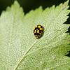 08.06.2007 17-58-59 Propylea quatuordecimpunctata, sjakkbrettmarihøne