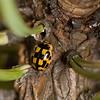 20090427as19-13-11 Propylea quatuordecimpunctata, sjakkbrettmarihøne