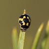 20.05.2007 22-02-41-01 Propylea quatuordecimpunctata, sjakkbrettmarihøne