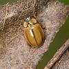 20080625as13-06-50 Aphidecta obliterata