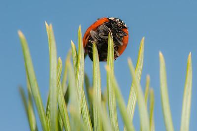 20090919as15-11-30 coccinella septempunctata, syvprikket marihøne