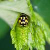 20080525as20-26-48-38 Propylea quatuordecimpunctata, sjakkbrettmarihøne