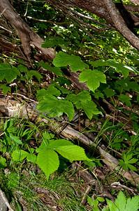 20100623as11-51-19 Platanlønn Sunndalen