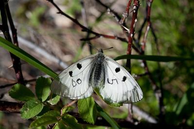 20100623as11-25-46 Mnemosynesommerfugl (Parnassius mnemosyne) Sunndalen