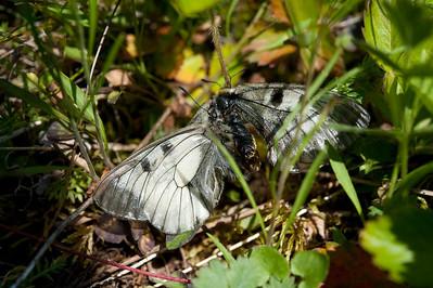 20100623as13-45-07 Mnemosynesommerfugl (Parnassius mnemosyne) Sunndalen
