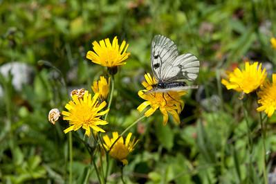 20100623as13-40-52 Mnemosynesommerfugl (Parnassius mnemosyne) Sunndalen