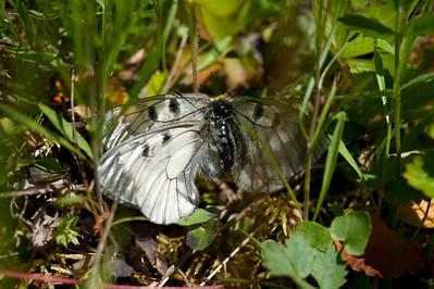 20100623as13-45-38 Mnemosynesommerfugl (Parnassius mnemosyne) Sunndalen