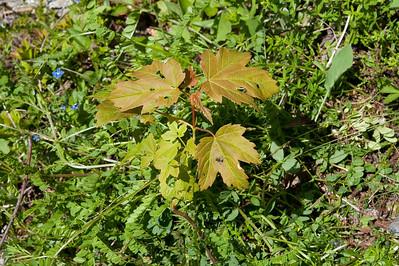 20100623as11-49-16 Platanlønn Sunndalen