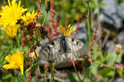 20100623as13-40-47 Mnemosynesommerfugl (Parnassius mnemosyne) Sunndalen