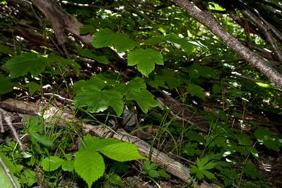 20100623as11-50-42 Platanlønn Sunndalen