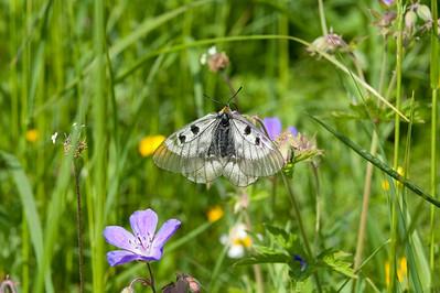 20100623as14-56-00 Mnemosynesommerfugl (Parnassius mnemosyne) Sunndalen