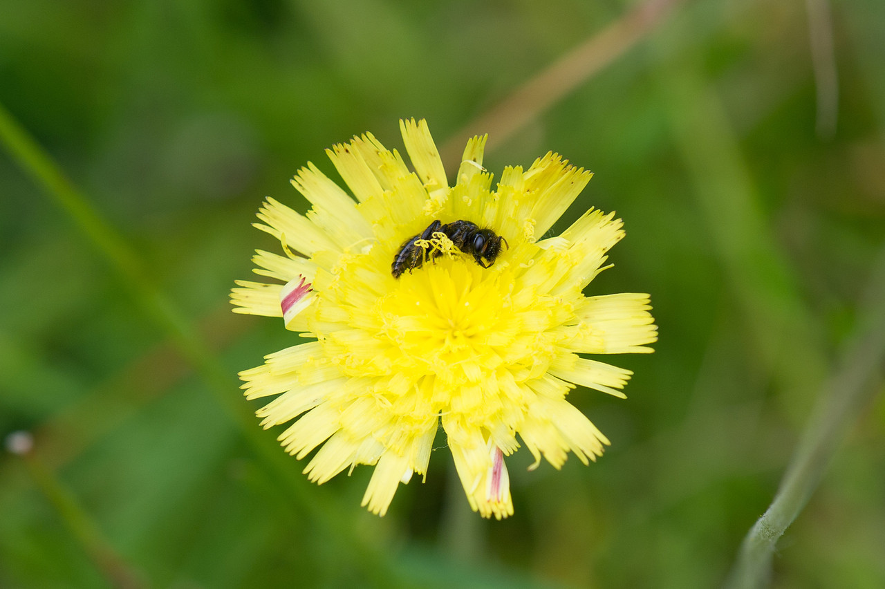 HYMCOURSE, Tovetorp, Sverige, Panurgus calcaratus hymcourse