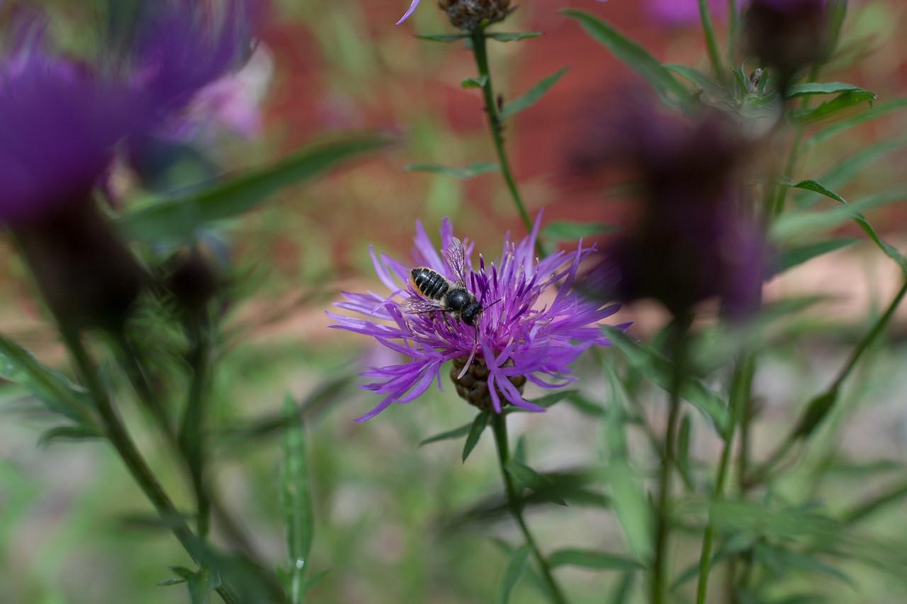 HYMCOURSE, Tovetorp, Sverige, Megachile sp. hymcourse