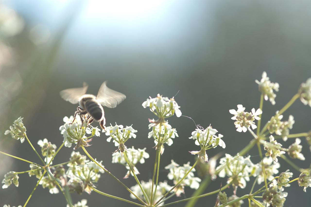 Honningbie, Apis mellifera