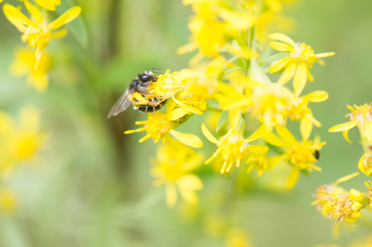 hymcourse, Andrena denticulata