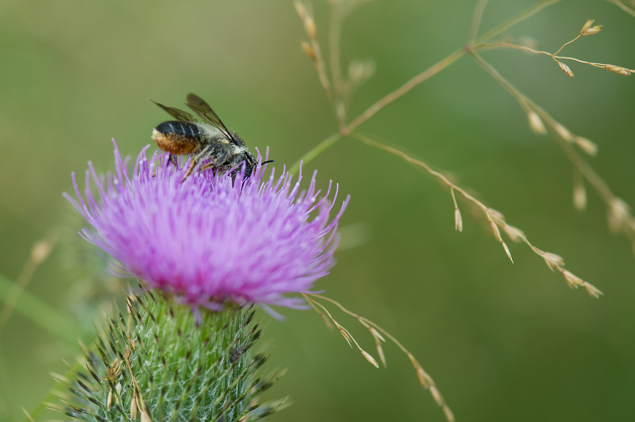 Megachile sp. hymcourse