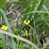 Andrena tarsata på tepperot (Potentilla erecta)