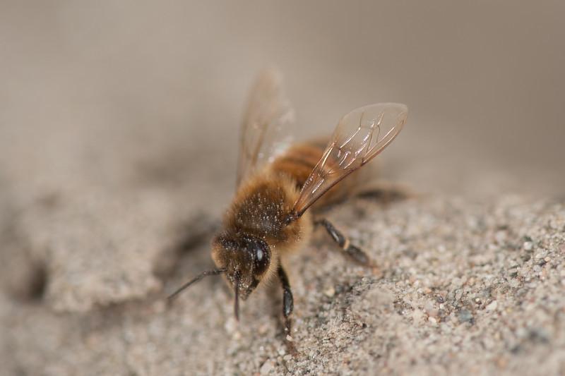 Honningbie apis mellifera