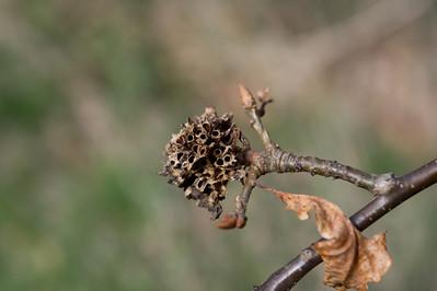Biorhiza pallida?